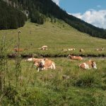 Grazing Cows in the Pollatal Region, Carinthia