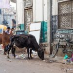 Sacred cows eating rubbish off the streets of Ahmedabad, Gujarat, alongside a bicycle.