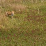 Wild fox among the red coral flowers at Shunkunitai