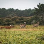 Wild deer at the Ochiishi Peninsula