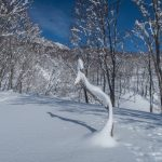 Looks like a peacock in the snow!