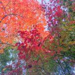 Autumn maples, Kogane Sanso, Kyushu