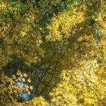 Golden maple leaves, Cho-an ji.