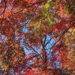 Oka-jo, Autumn foliage