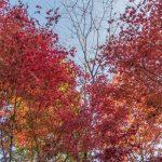 Autumn leaves, Kogane-no-Sanso