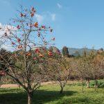 Persimmon trees, Tashibu