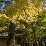 Golden Maple tree, Cho-an ji, Kunisaki