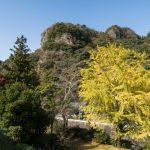 Gingko tree in full bloom, Tennen-ji