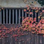 autumn leaves on an old barn in Kitsuki, Kyushu