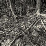 Intricate web of tree roots on the hike at Kyu-sento-ji