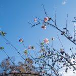 Plum blossoms, Monjusen-ji, Kunisaki