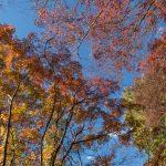 Autumn foliage  on the walk to Oka-jo castle grounds