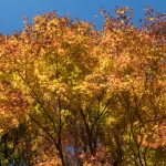 Oka-jo, autumn foliage.
