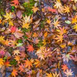 Fallen Autumn Leaves, Izu Peninsula