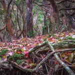 A beautiful carpet of freshly fallen Autumn  leaves among the native beech forest in the Amagi Highlands in the middle of the Izu Peninsula