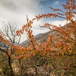 Apple Orchards in Jomsom