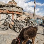 Bicycle and calf in Kagbeni, Nepal