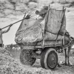 Farmer raking hay in a village in Rajasthan