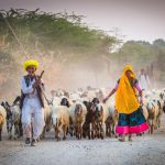 Rajasthani herders head home with their goats and camels after a day out in the fields, in a village near Rawla Jojawar in India.