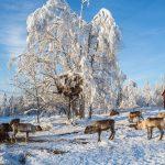 Reindeer Farm in Flakaberg
