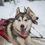Beautiful Huskies.