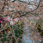 Sakura blossoms at Nakameguro Canal, Tokyo