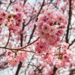 Sakura in  Shinjuku-Goen, Tokyo