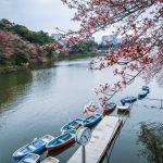 Early Sakura blooms at Chidorigafuchi, Tokyo