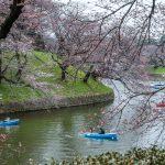 Boating in Chidorigafuchi, Tokyo to admire the Sakura Blooms.