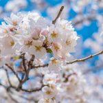 Sakura, Kitanomaru Park in Tokyo