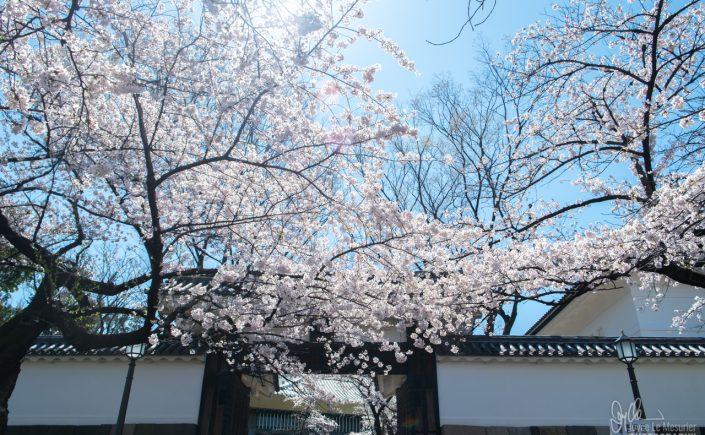 Cherry blossoms at Kitanomaru Park, Tokyo