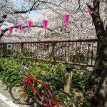 Sakura blossoms along Nakameguro Canal, Tokyo