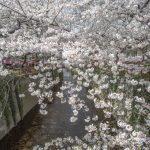 Sakura at Nakameguro, Tokyo