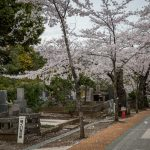 Cherry blossom petals falling from the trees. Aoyama Cemetery, Tokyo