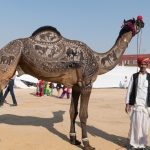 Camel with elaborately shaved patterns on its body