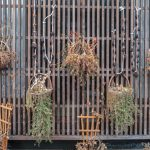 Dried Persimmons hanging at Ginzan Onsen