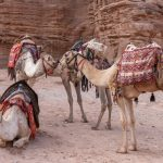Camel love, Petra
