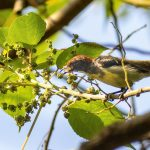 Male Scarlet backed flowerpecker eating mulberry fruits