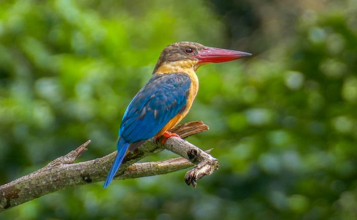Stork-billed kingfisher, Dairy Farm Quarry