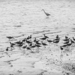Egret and plovers, Sungei Buloh Wetland Reserve