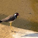 Red wattled lapwing, Holland Plain canal