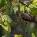 Asian Red-eyed Bulbul, Jelutong Tower