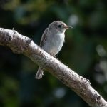 Asian Brown Flycatcher, Jelutong Tower