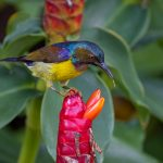 Male brown-throated sunbird, Gardens by the Bay