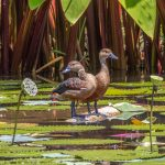 Lesser Whistling Ducks, Satay by the Bay