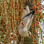 Pied Imperial Pigeon feasting on Manila Palm berries