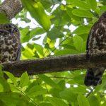 Brown Hawk Owls, Mandai track 15