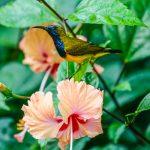 Male olive backed sunbird, Pasir Ris Park