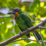 Red Crowned Barbet, Thomson Nature Park