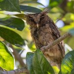 Sunda Scops Owl, Woodlands PCN